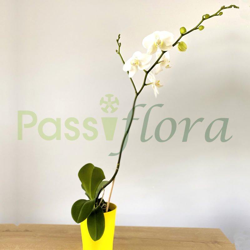 Orquídeas Phalaenopsis Blanco