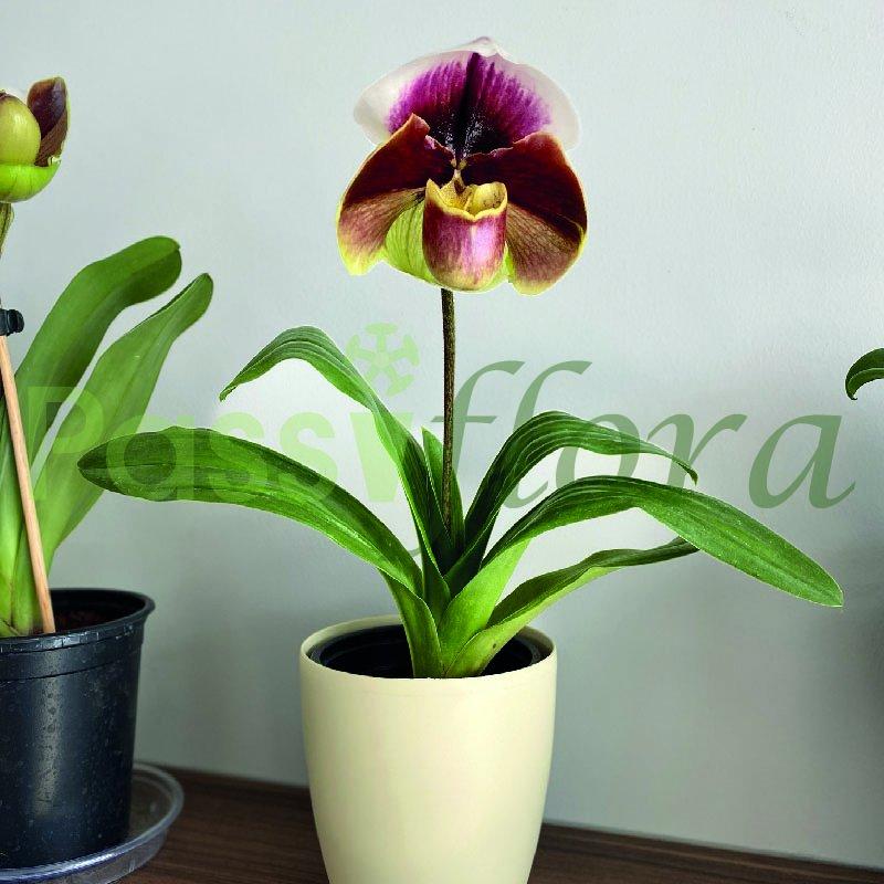 Orquídea Phaphiopedilum o Zapatilla