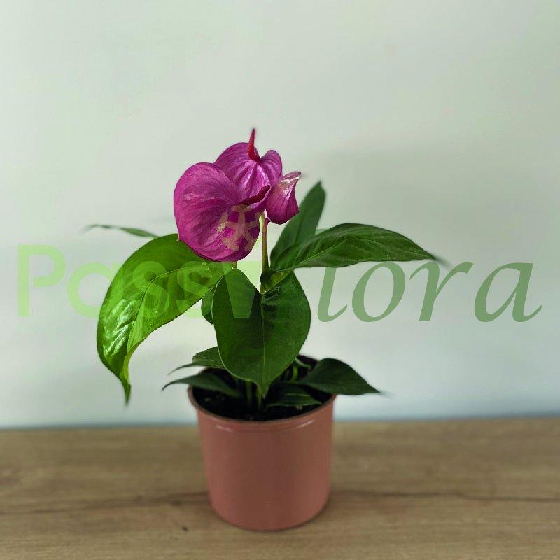 Anturio  Scherzerianum Lila