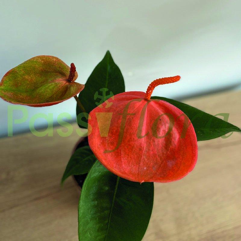 Anturio  Scherzerianum Naranja