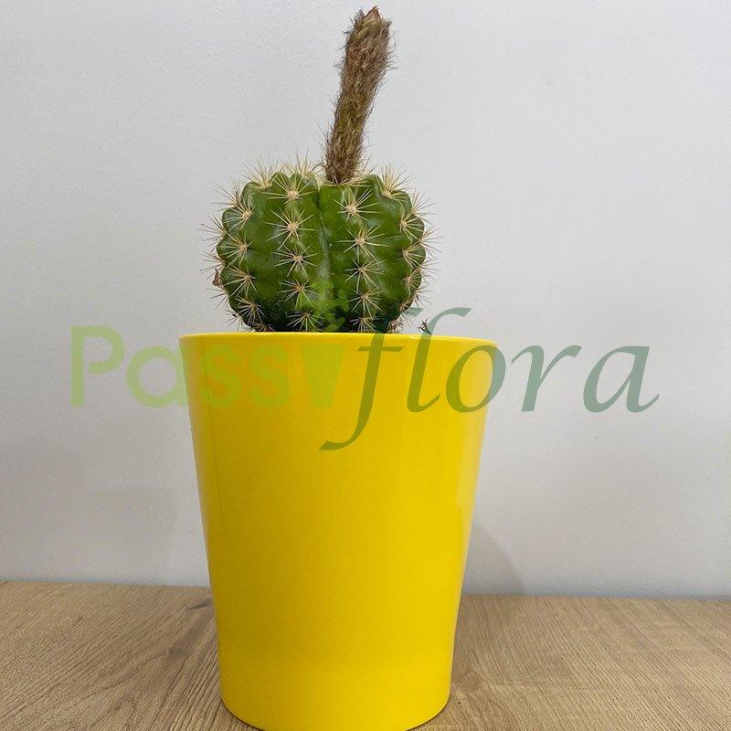 Cactus Echinopsis con portamaceta