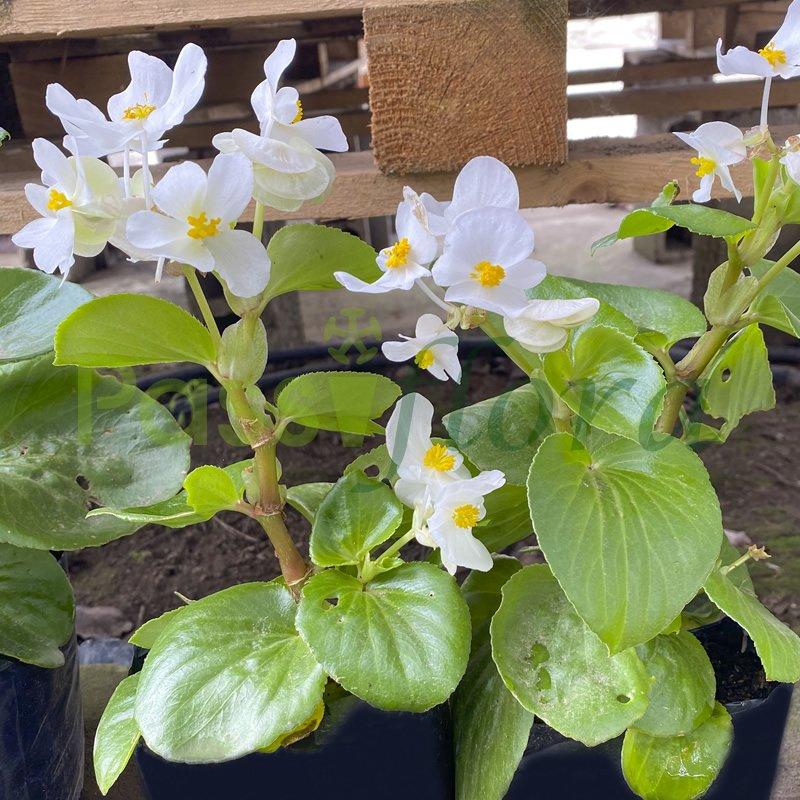 Begonia Blanco